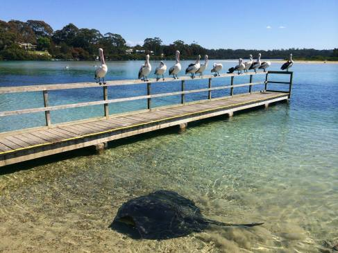 tomakin-pelicans-and-stingray