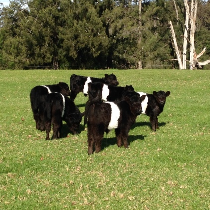 Beltie Galloway herd credit Mogendoura Farm