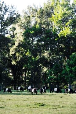 Mogendoura Farm & Beltie Galloway herd credit Emma Lipscombe
